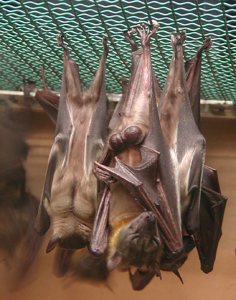 Bats Hanging Sleep